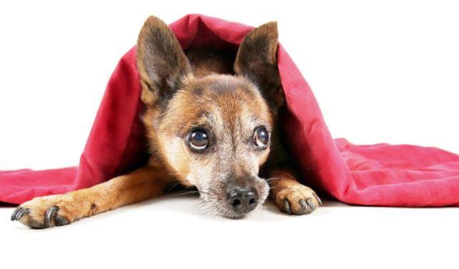 miedo en perros emociones